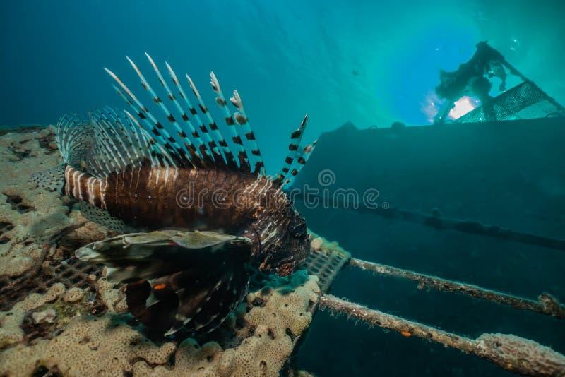 Poissons de lion en Mer Rouge image libre de droits