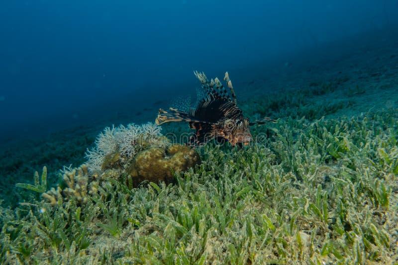 Poissons de lion en Mer Rouge photographie stock libre de droits