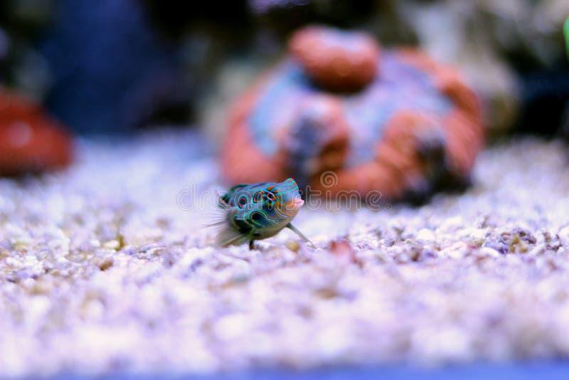 Poissons de mer dans l'aquarium marin image stock