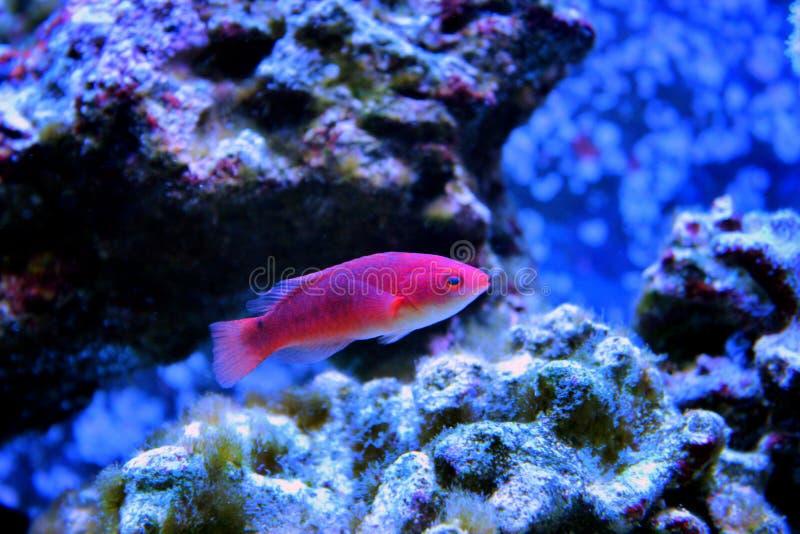 Poissons de mer dans l'aquarium marin photos libres de droits