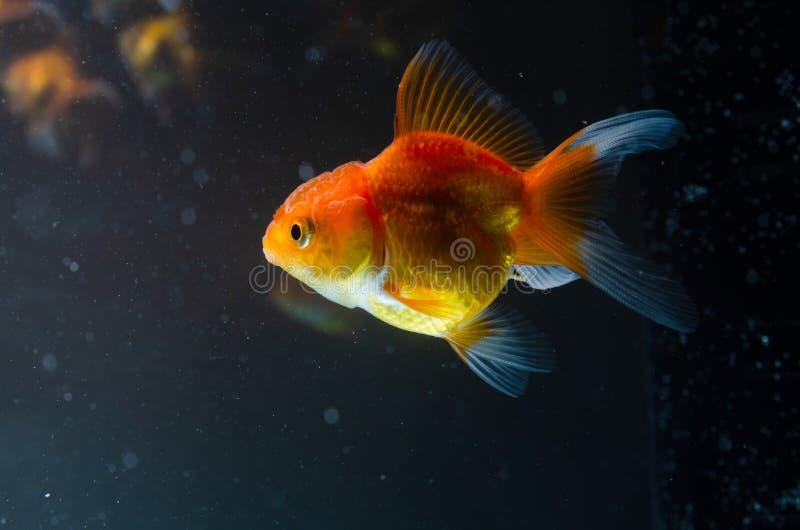 Poissons de nature de poisson rouge beaux sur le fond foncé photos stock