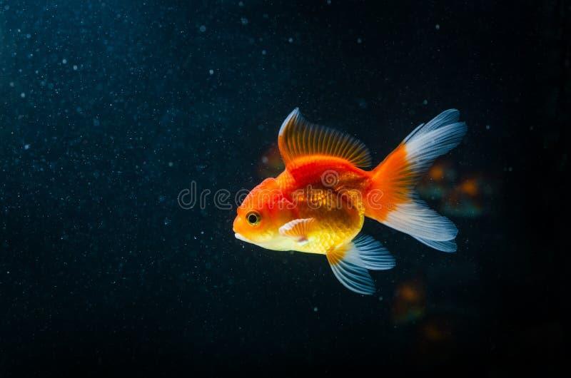 Poissons de nature de poisson rouge beaux sur le fond foncé photo libre de droits
