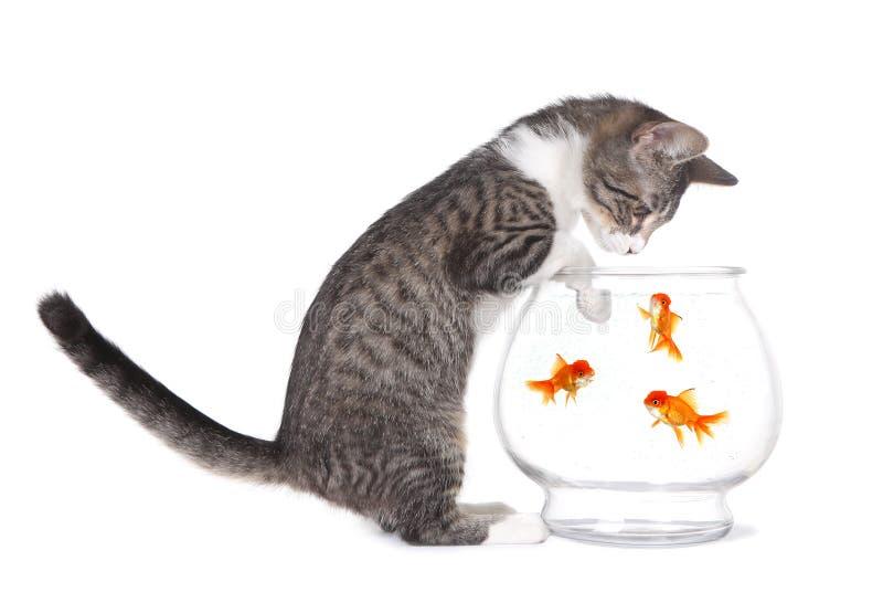 Poissons de observation de chaton nager avec des pattes sur l'aquarium images libres de droits