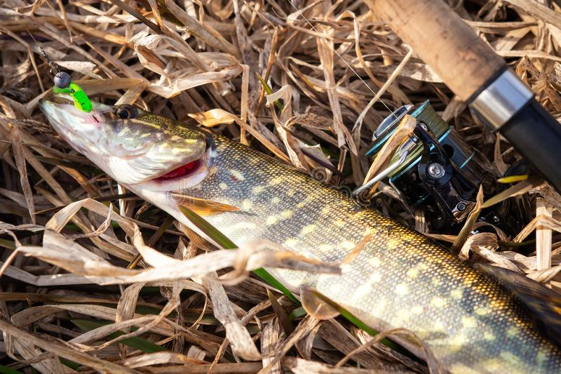 Poissons de Pike et rotation sur l'herbe jaune sur le rivage de rivière Troph?e de p?che Brochet attrap? par p?cheur images stock