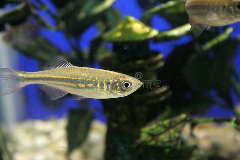 Poissons de réservoir de poissons image libre de droits