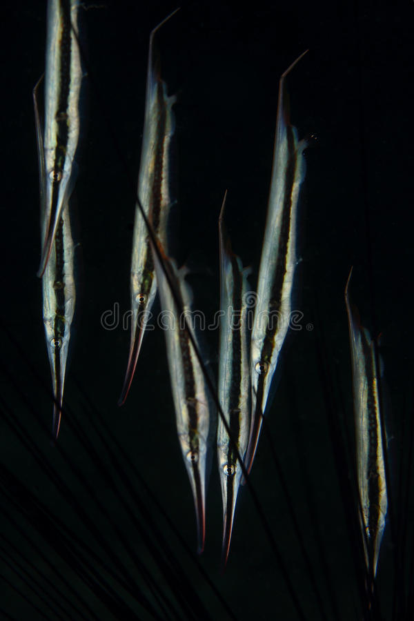 Poissons de rasoir grand groupe au fond noir, Pulah Weh, Banda Aceh images stock