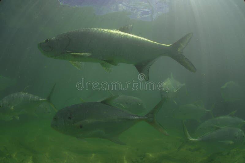 Poissons de tarpon et natation de poissons de Jack photo libre de droits