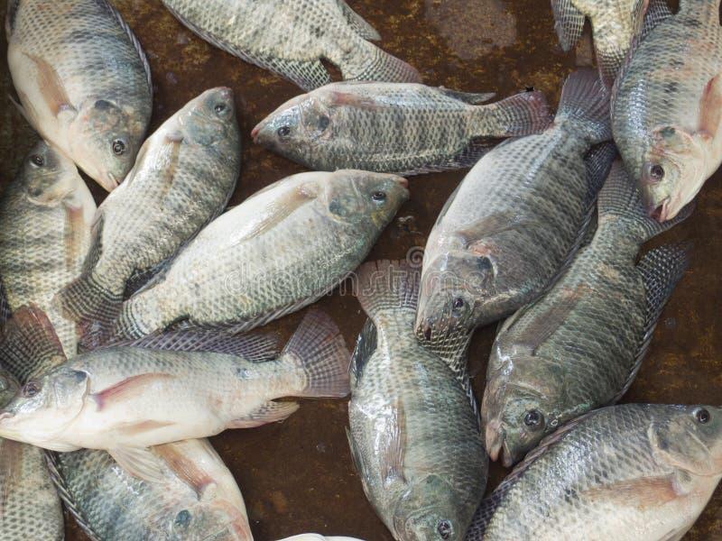 Poissons de tilapia du nil image stock image du for Nourriture du poisson
