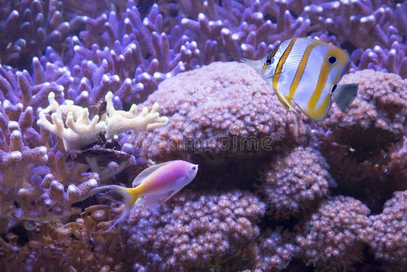 Poissons et coraux tropicaux photos stock
