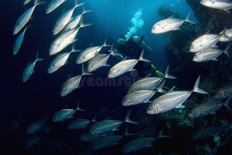 Poissons et plongeur. image stock