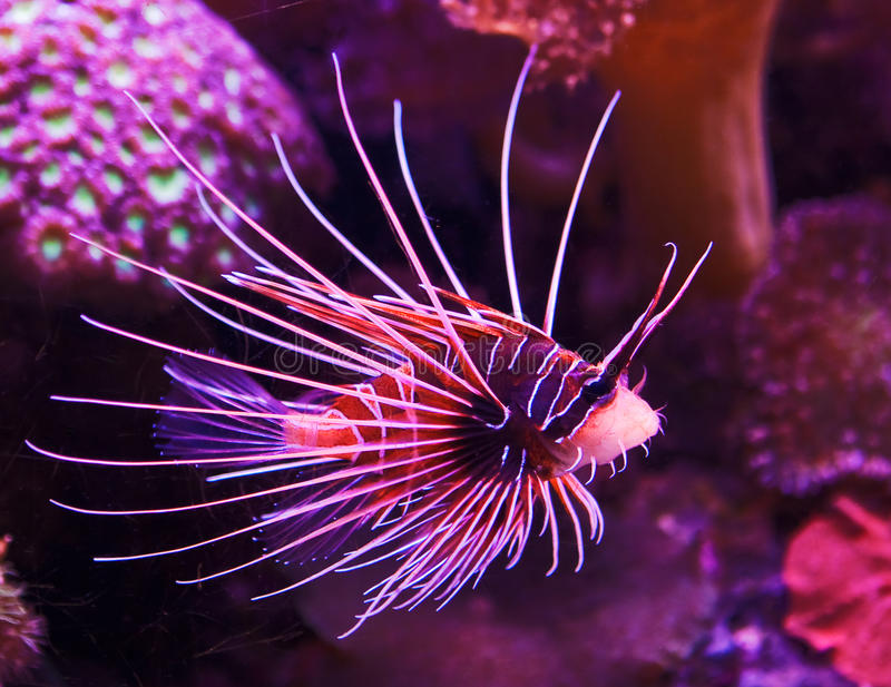 Poissons exotiques en récif coralien photo libre de droits