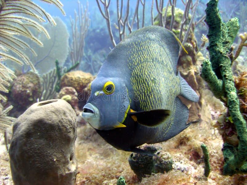 Poissons français d'ange et récif coralien photos stock