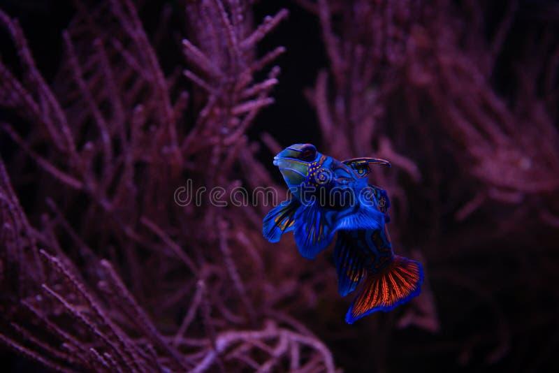 Poissons gentils de mandarine dans des animaux familiers d'aquarium de mer de corail photo stock
