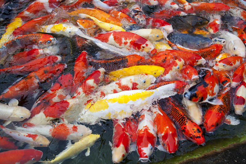 Poissons japonais de koi image stock image du carpe for Koi poisson prix