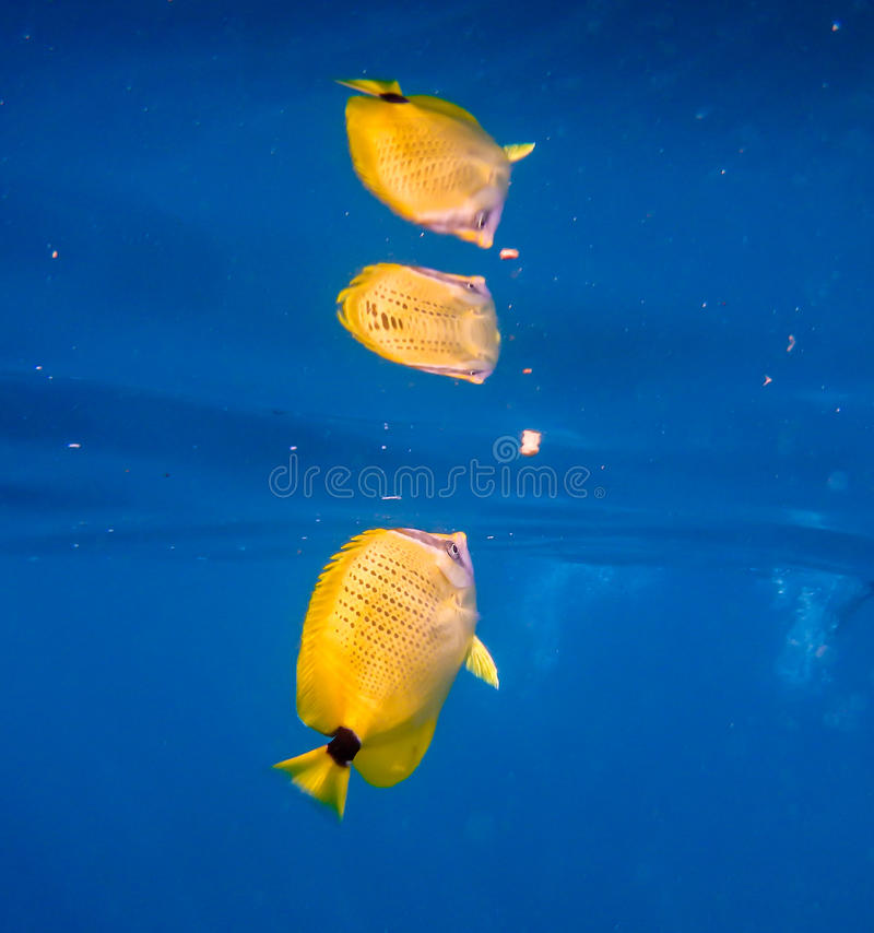 Poissons jaunes tropicaux avec la réflexion dans l'eau bleue vibrante photos libres de droits