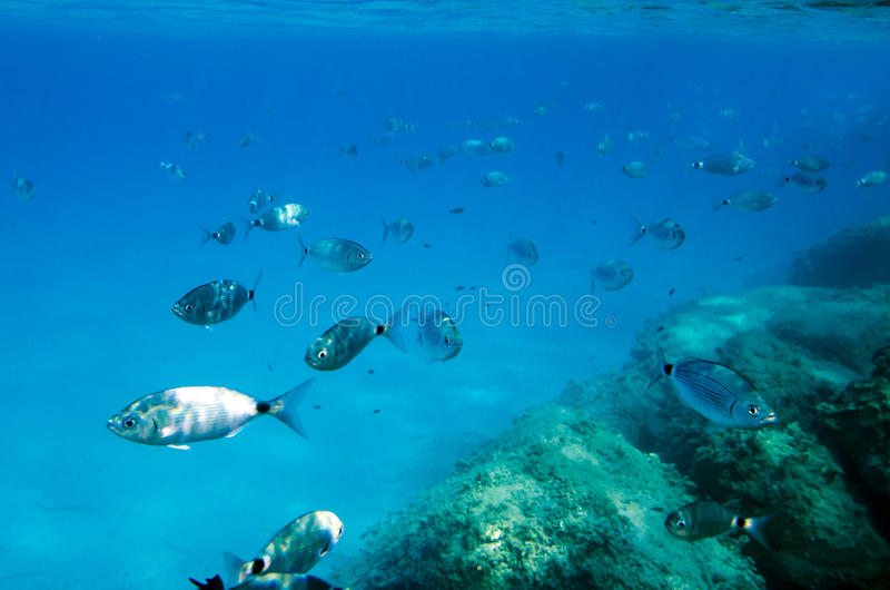 Poissons méditerranéens sous-marins Sparlotti appelé dans le langu italien image stock