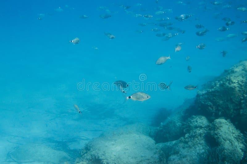 Poissons méditerranéens sous-marins Sparlotti appelé dans le langu italien photographie stock