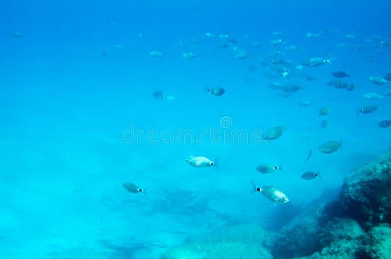 Poissons méditerranéens sous-marins Sparlotti appelé dans le langu italien images stock