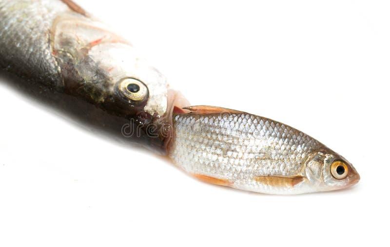 Poissons mangeant des autres poissons photos stock