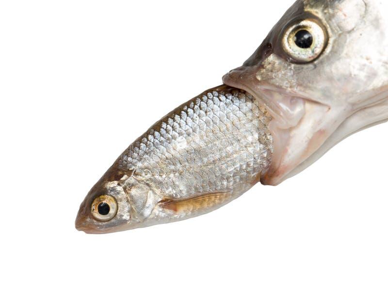 Poissons mangeant des autres poissons photographie stock libre de droits