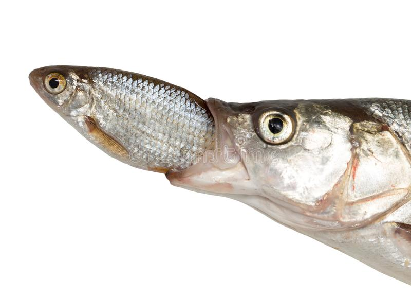 Poissons mangeant des autres poissons photographie stock