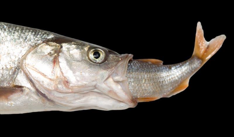 Poissons mangeant des autres poissons photo libre de droits