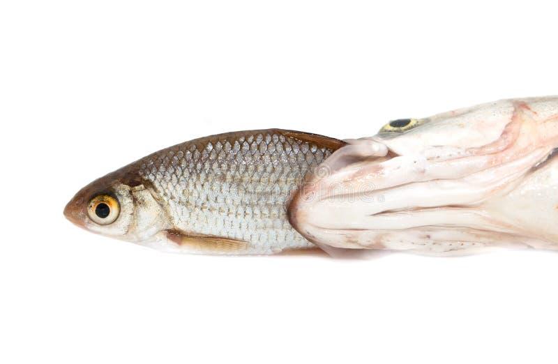 Poissons mangeant des autres poissons image libre de droits