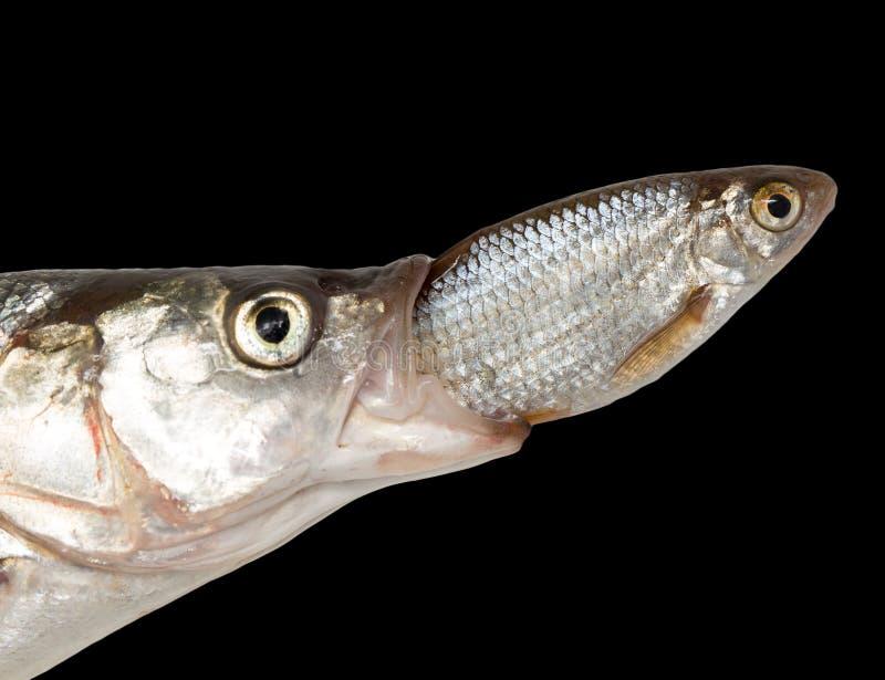 Poissons mangeant des autres poissons images libres de droits