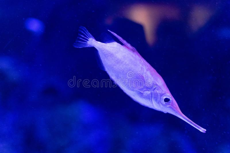Poissons mignons de trompette dans un réservoir de l'aquarium de Valence photo libre de droits
