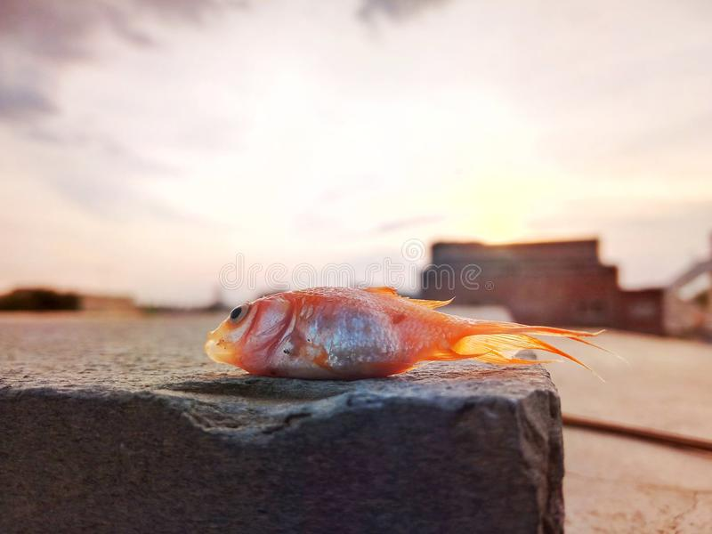 Poissons morts d'or photo stock