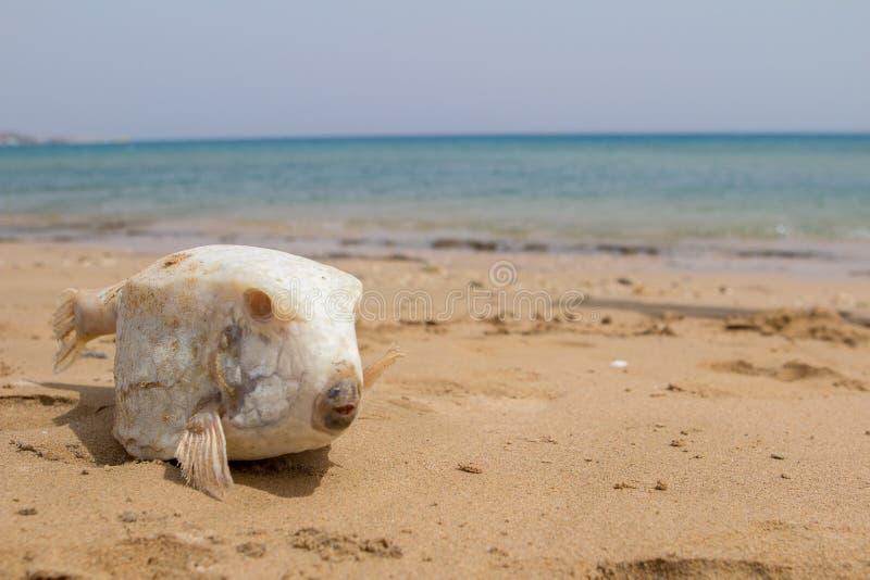 Poissons morts de fugu sur le sable photos libres de droits