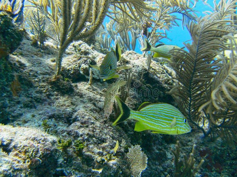 poissons nageant entre les coraux photos libres de droits