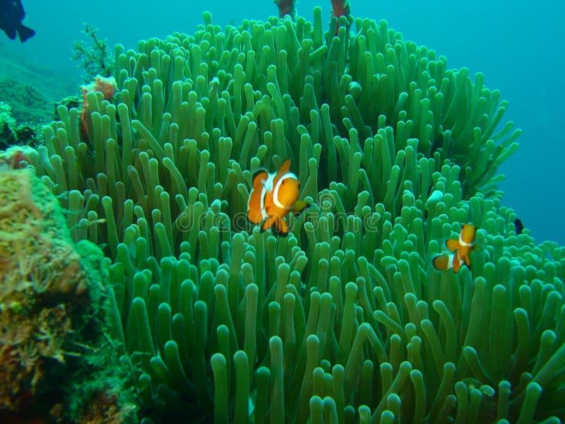 Poissons Nemo de clown images libres de droits
