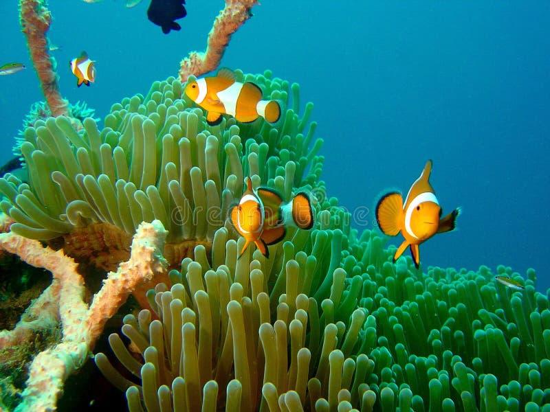 Poissons Nemo de clown photographie stock