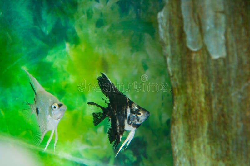 Poissons noirs et blancs d'ange photographie stock