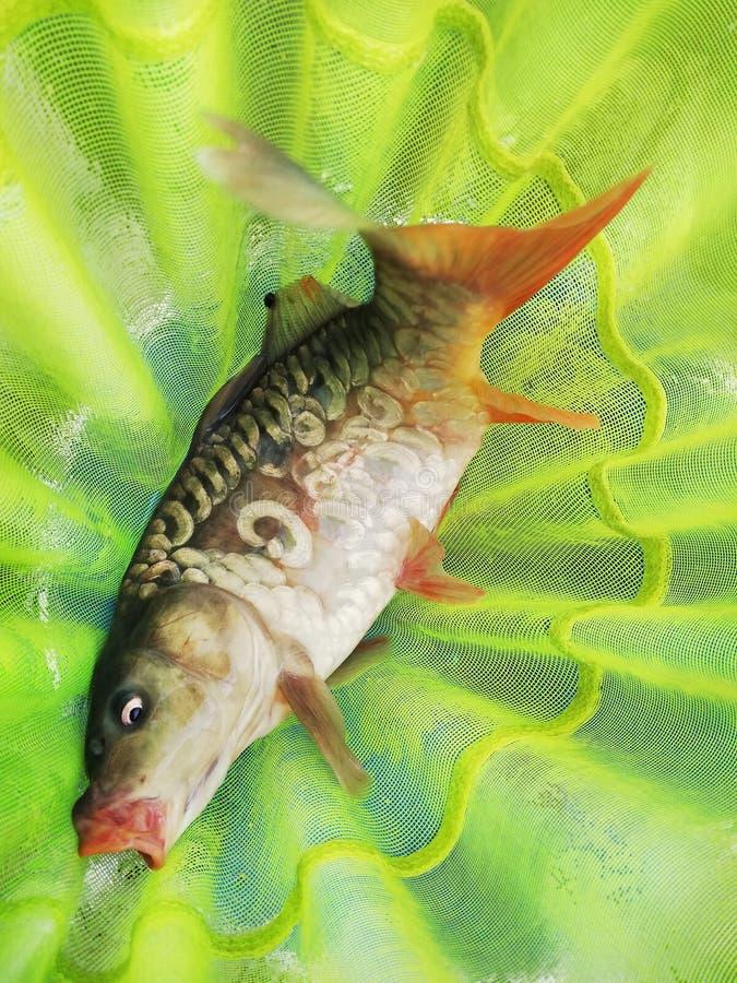 Poissons pêchés de carpe en filet de pêche photographie stock libre de droits