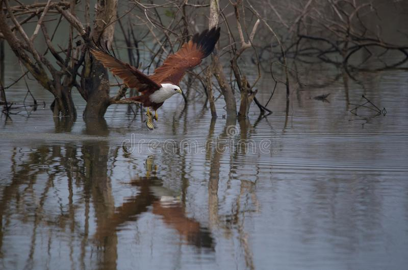 Poissons pêchés par cerf-volant de rivière image stock