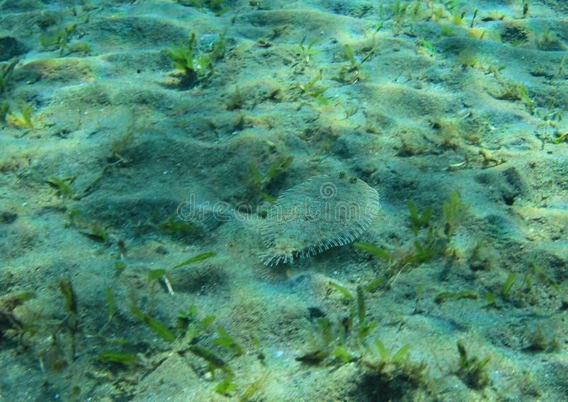 Poissons plats sur le fond arénacé de la mer images stock
