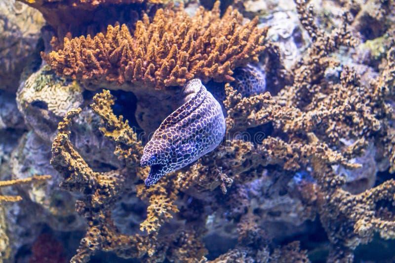 Poissons pourpres colorés dans l'aquarium d'oceanario, Lisbonne photos libres de droits