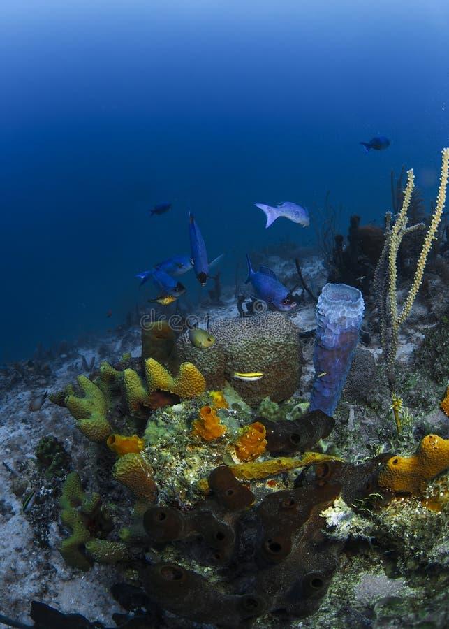 Poissons Roatan, Honduras de récif photo stock
