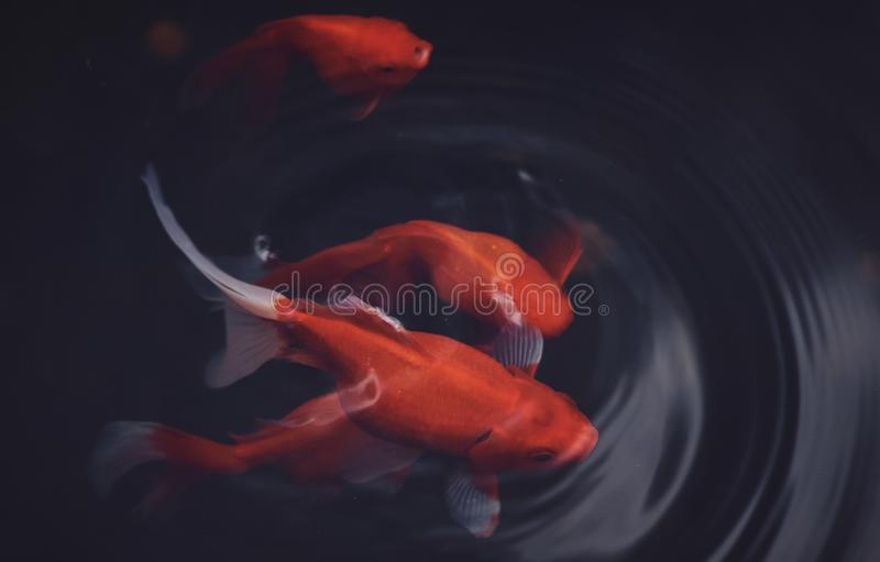 Poissons rouges dans l'eau images stock