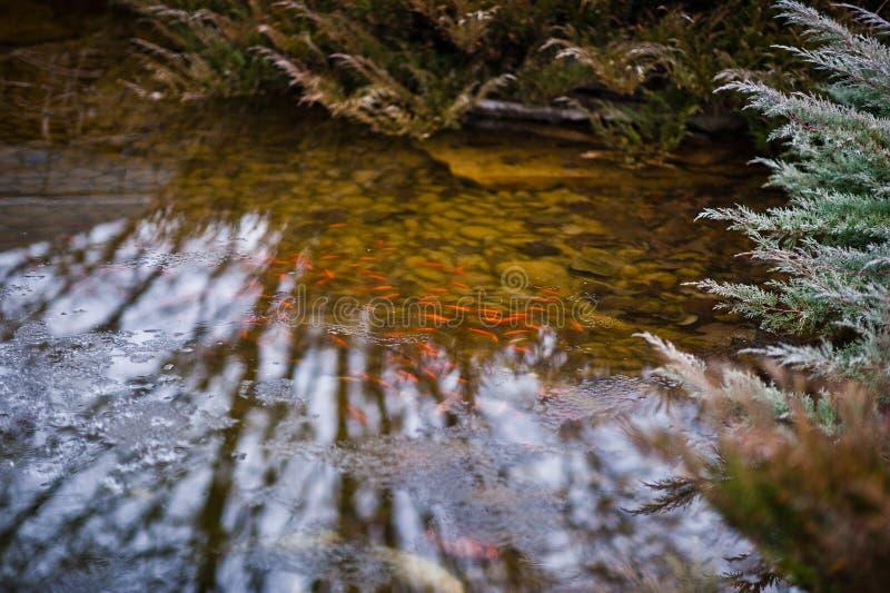 Poissons rouges dans un étang photo libre de droits