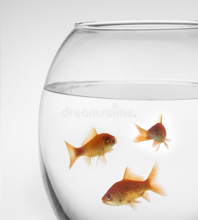 poissons rouges dans un aquarium sur un fond blanc photo stock image 4336050