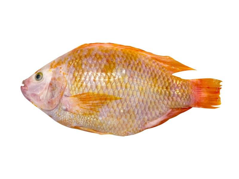 Poissons rouges dans un poisson rouge de secteur du marché de magasin de nourriture fraîche d'isolement sur le fond blanc image stock