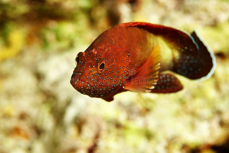 Poissons rouges de récif image libre de droits