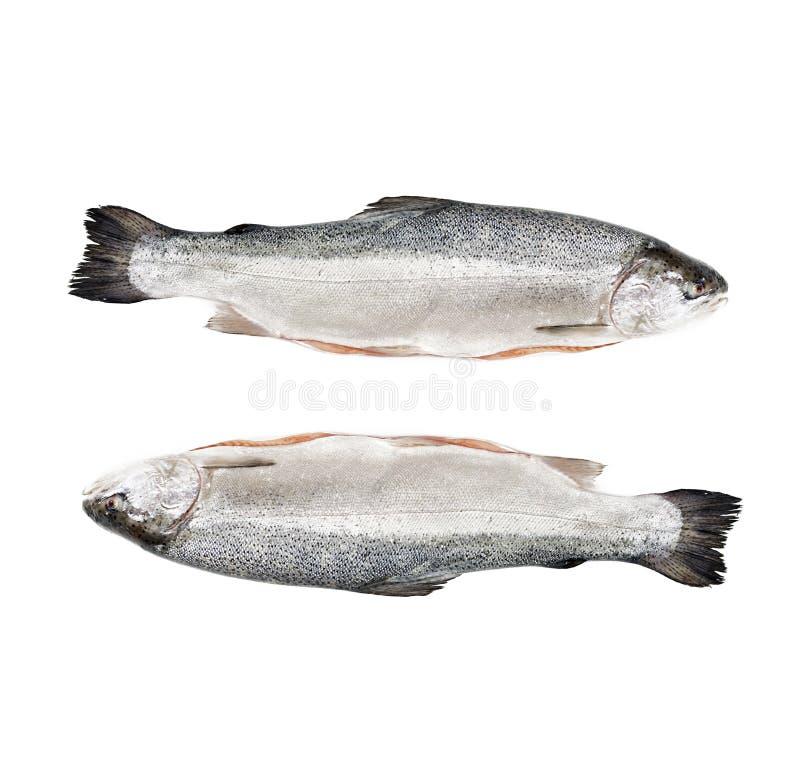 Poissons rouges saumonés crus frais d'isolement sur un fond blanc photos libres de droits