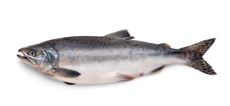 Poissons saumonés atlantiques frais photos libres de droits