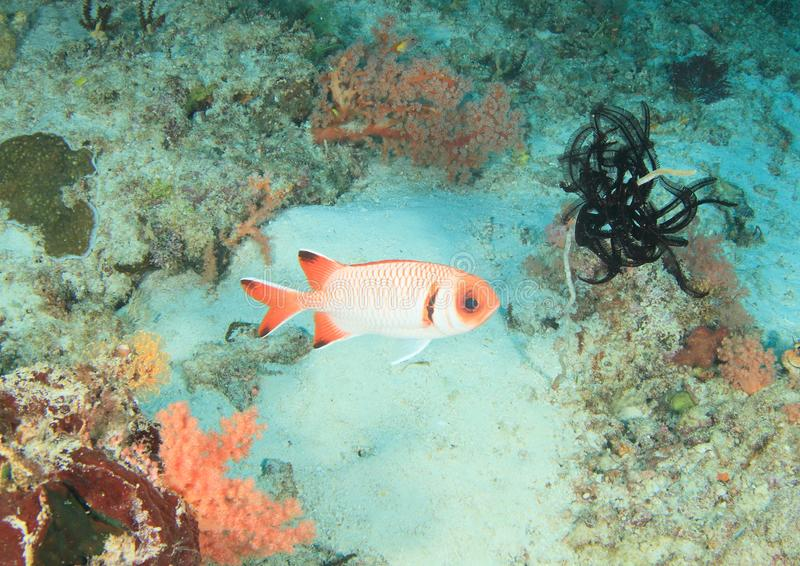Poissons - soldierfish splendide images stock