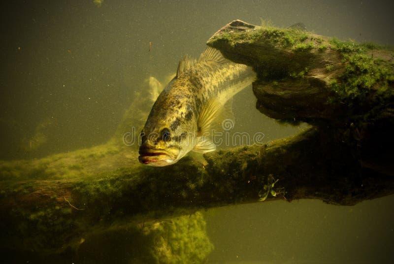 Poissons sous-marins de basse de large ouverture photographie stock