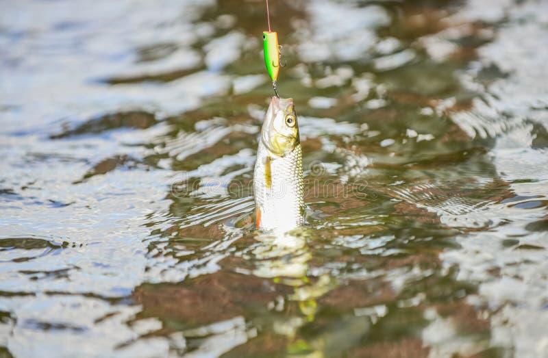 poissons sur le crochet amorce de truite Poissons de crochet P?che sur le lac passe-temps et activité de sport Bon loquet Truite  images stock